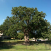 A Solution to the Riddle—Post Oak Decline in the Southern Cross Timbers