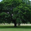 Arlington Tree Advisory Committee Accepting Applications