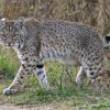 Recent DFW bobcat attacks